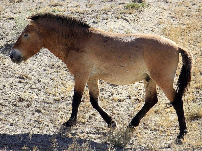 Steppenfuchs Reisen –  Hintergrund – Przewalskij Pferde